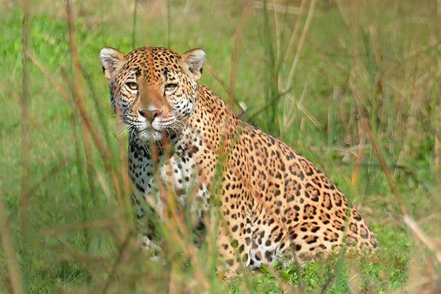 Jaguar en vida libre (ADVC La Paplota, Nayarit). Foto: Victor H. Luja.